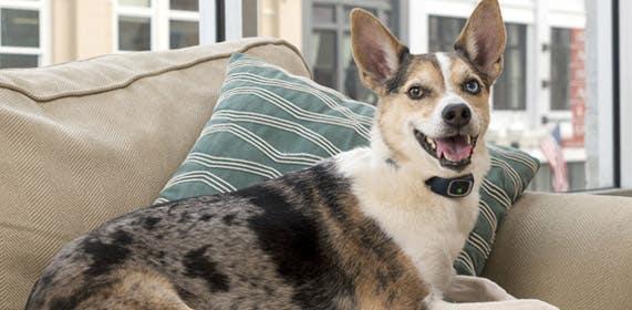 Dog Wearing Bark Collar